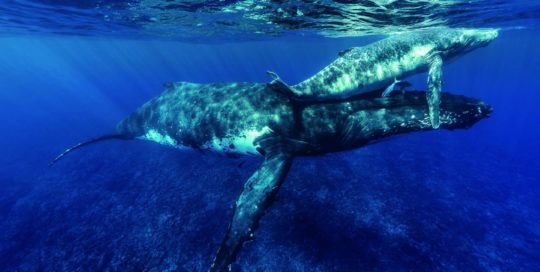 Whales in the Polynesian waters
